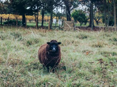 Lily the sheep at Astrolabe Farm