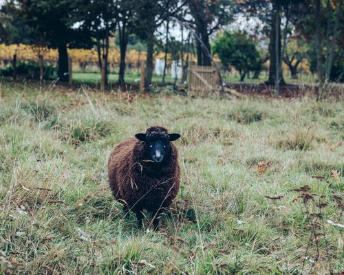 A sheep at Astrolabe Farm in the Wairau Valley.