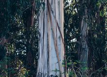Gum trees at Comelybank.
