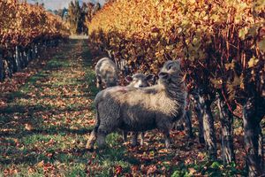 Sheep grazing in the vineyard in Autumn.
