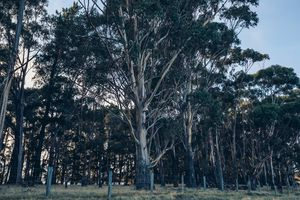 Gum trees next to Sleepers vineyard.