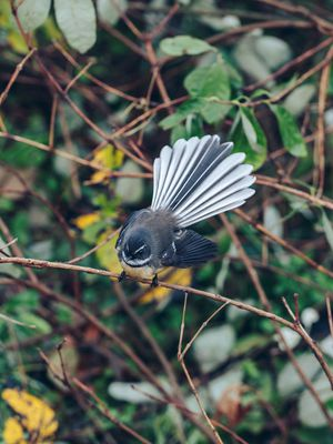 A fantail at Astrolabe Farm.