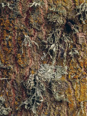 Lichen on an old tree trunk.