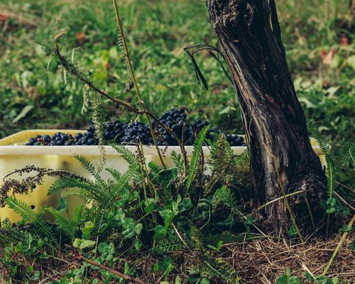 A picking bin of pinot noir beneath the vines at Astrolabe Farm.
