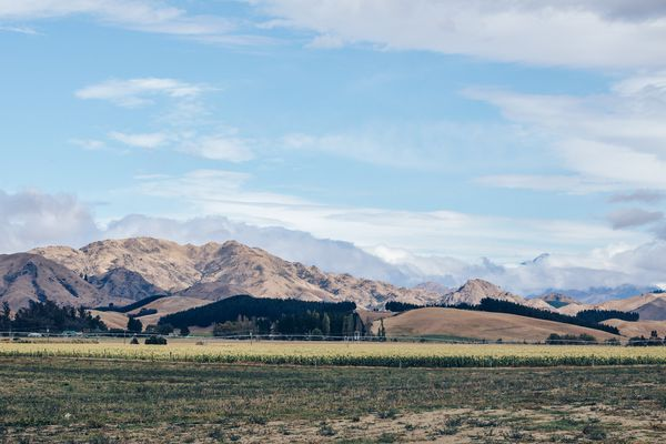 A corn field adjacent to Trelawne vineyard in the Awatere valley.
