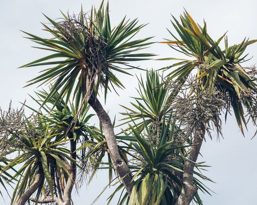 A cabbage tree.