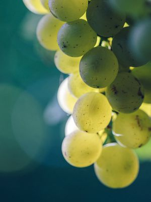 Sauvignon blanc grapes from Trelawne in the Awatere valley.