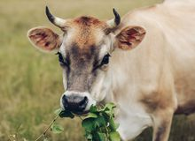 A cow eating grape vines.